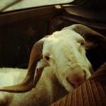 Chroniques sénégalaises 09 - Le mouton